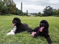Новая собака Барака Обамы- португальская водная собака