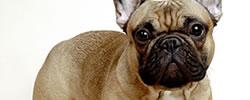 Подбор породы собаки французский бульдог