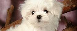 Дрессировка собаки породы Мальтийская болонка или Мальтезе