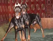 породы дрессировка собак доберман