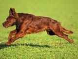 http://www.dressirovka.spb.ru/images/stories/breeds/irsetter/irsetter1.jpg